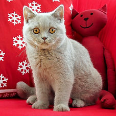 british-shorthair-972583_1920_edited.jpg