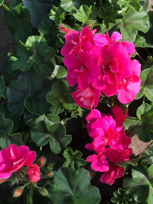 Hanggeraniums 10 stuks - Pink