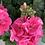Thumbnail: Geranium 10 stuks - Bright Pink