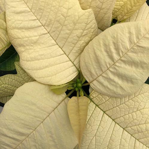 Poinsettia white - 5 stuks - small