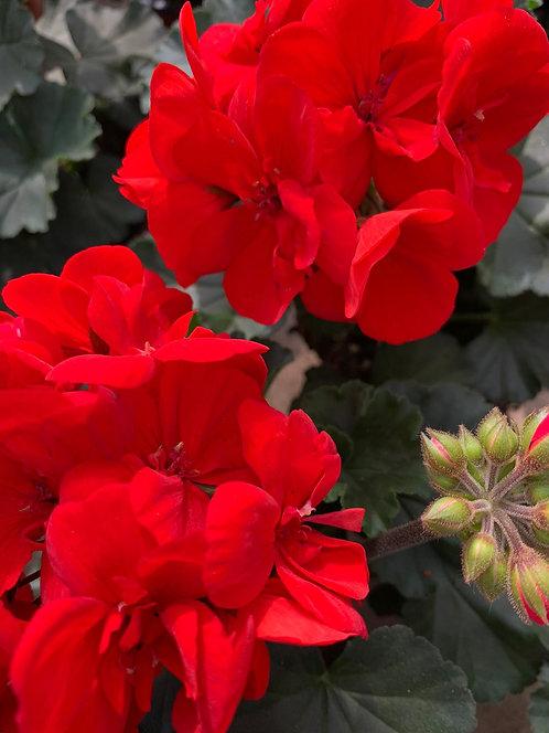 Geranium 10 stuks - Classic Red