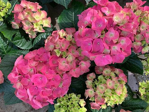 Hortensia 6 stuks - Pink
