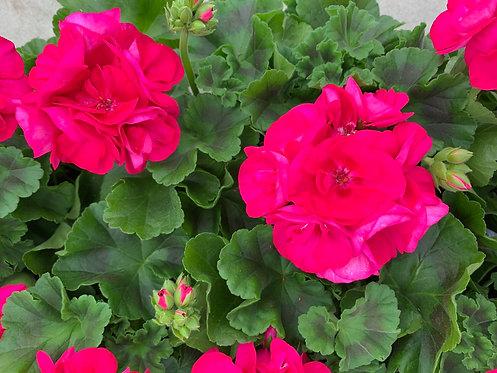 Geranium 10 stuks - Bright Pink