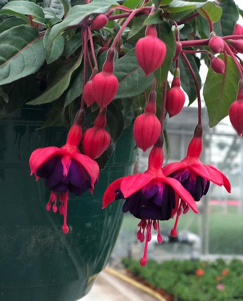 Fuchsia hangpot - Pink Blue