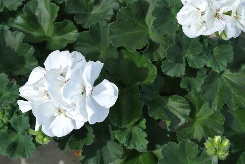 Geranium 10 stuks - Snow white