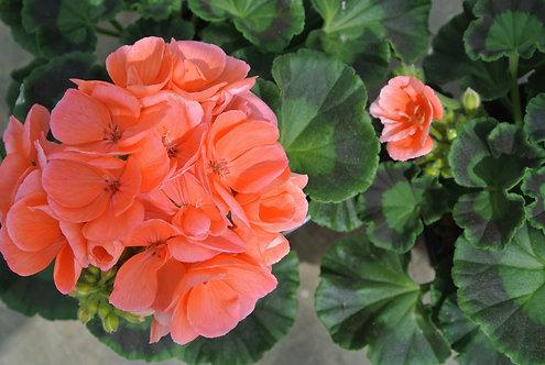Geraniums 10 stuks - Orange
