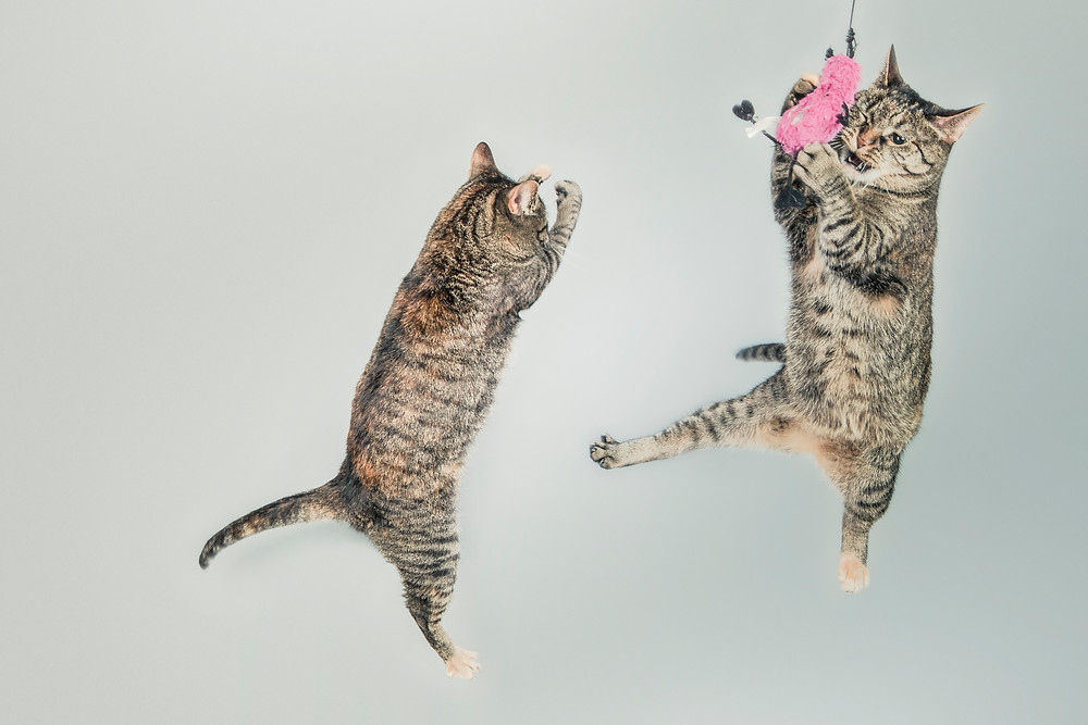 Two gray and beige tabby cats playing with a pink toy in mid-air.