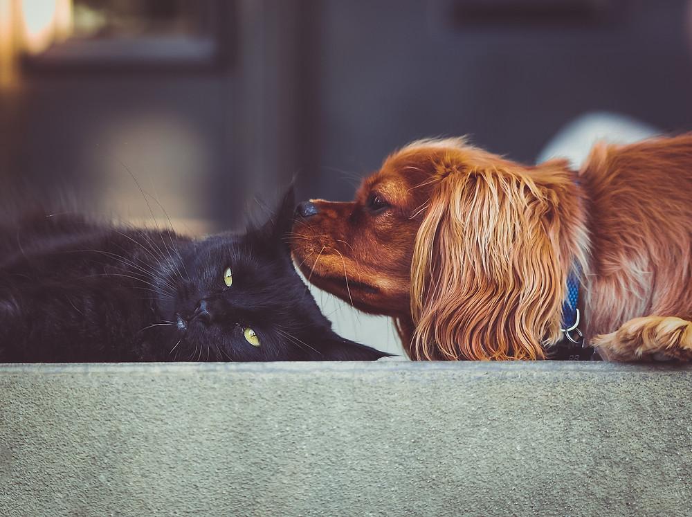 Reddish gold dog sniffing a black cat's head.