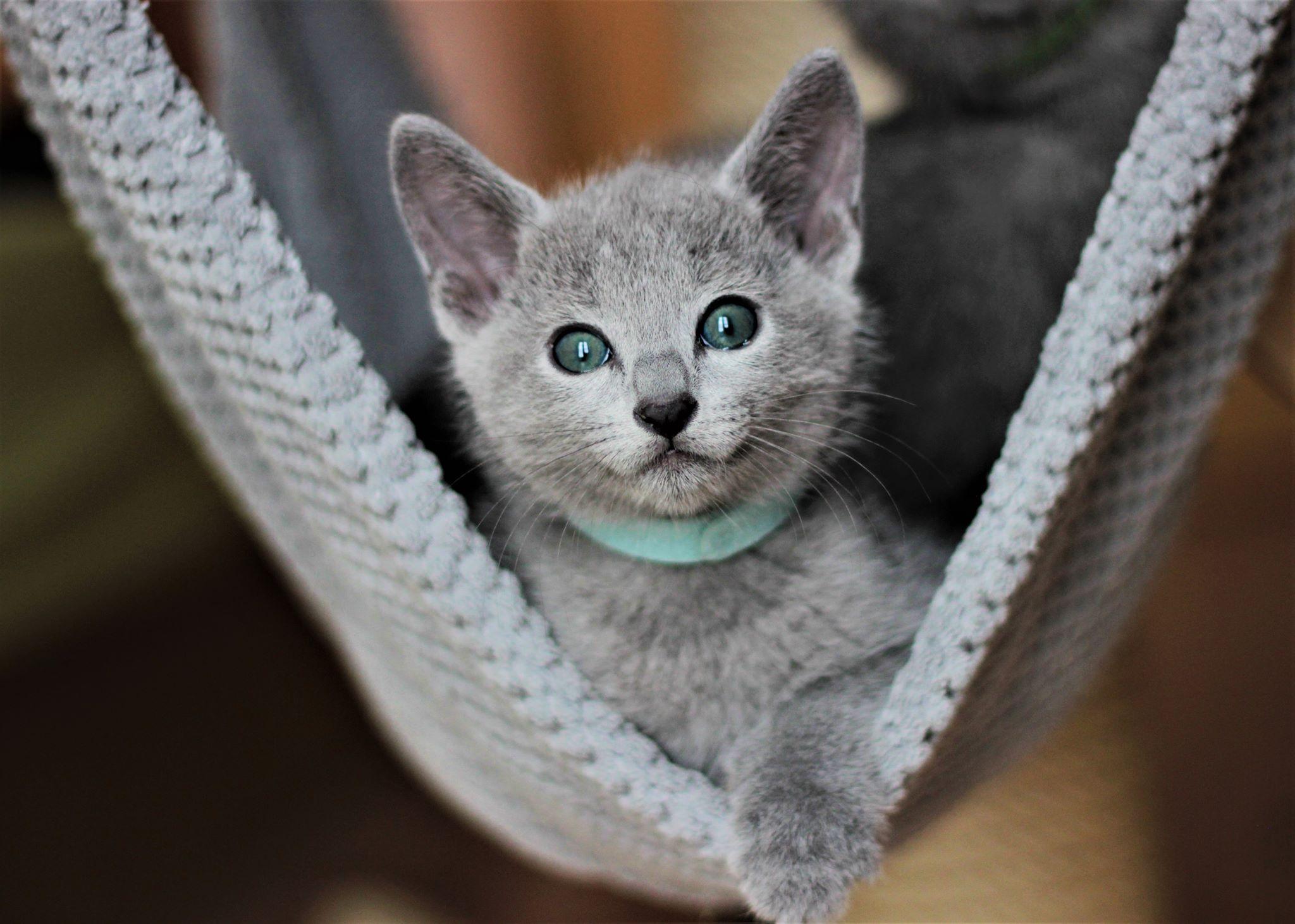 russisch blau kitten von Tobert