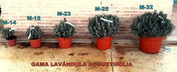 GAMA_LAVÁNDULA_H.MORENO
