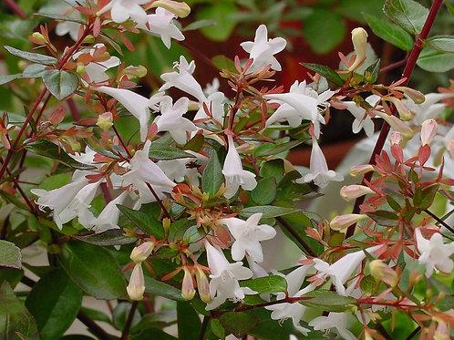 ABELIA grandiflora En maceta de cms. 18