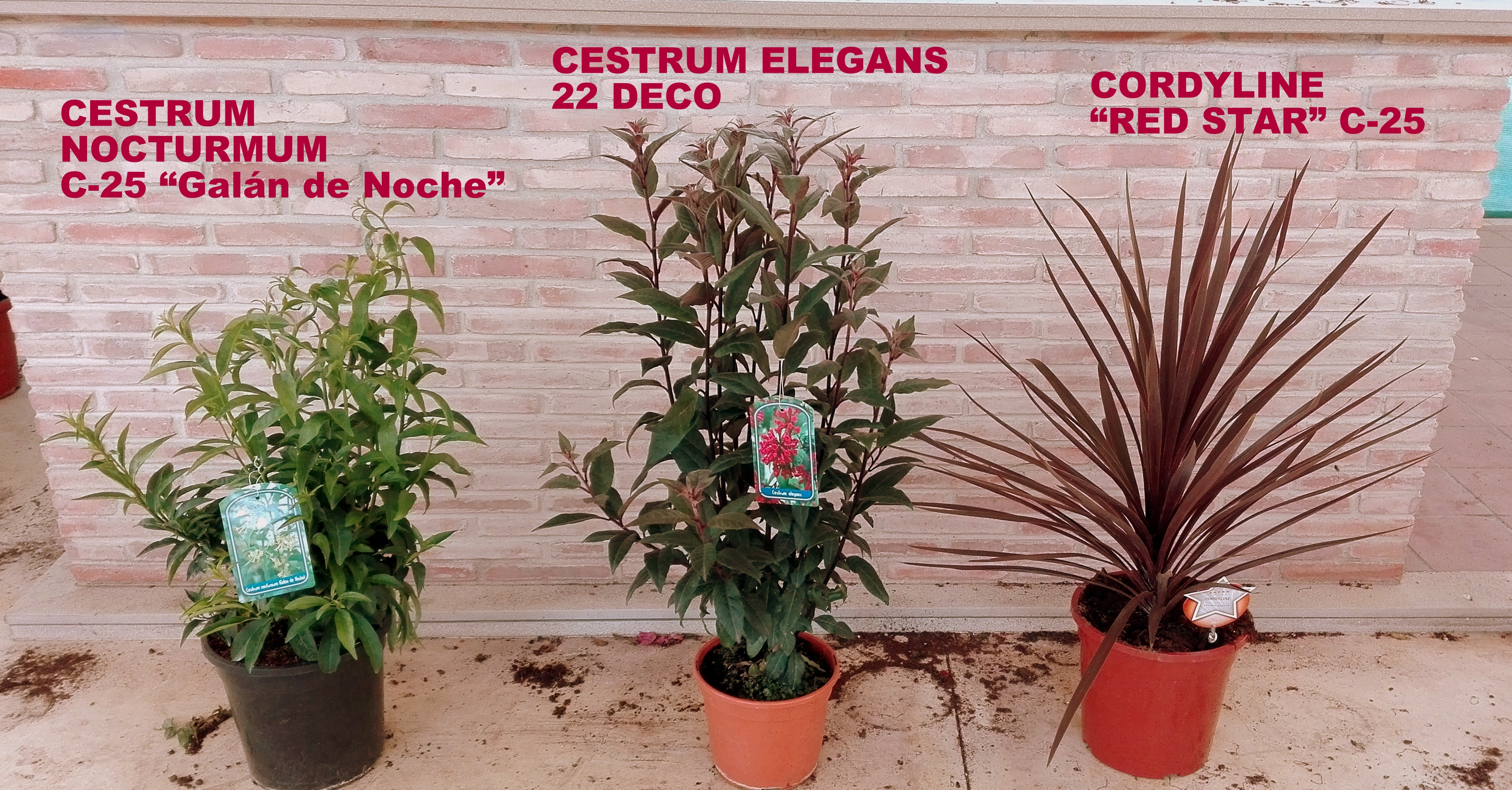 cestrum y cordyline