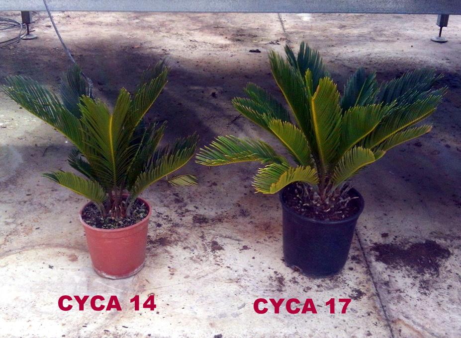 CYCAS 14-17