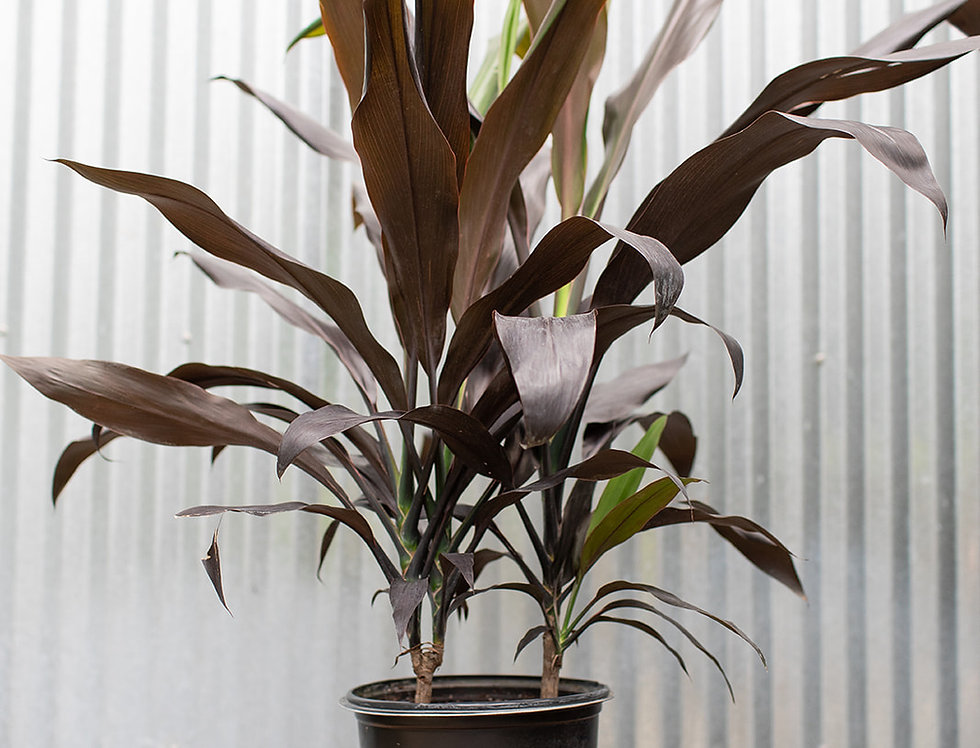 Dracaena - Cordyline Black Magic