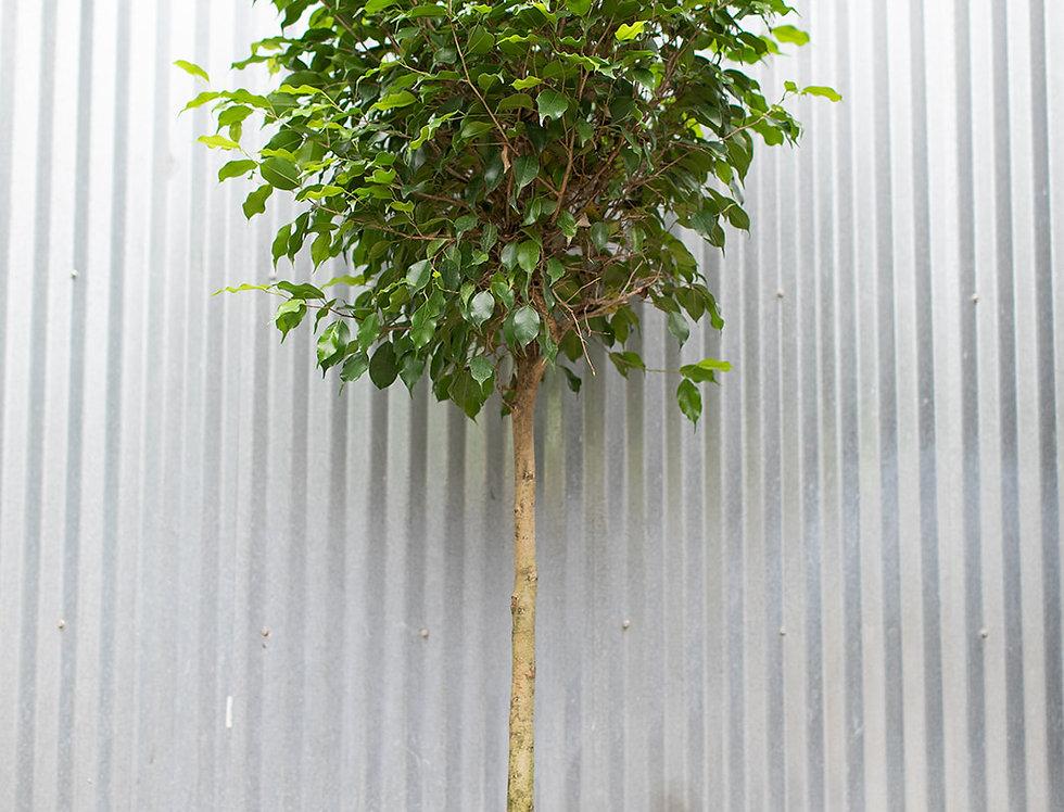 Benjamina Ficus - Standard