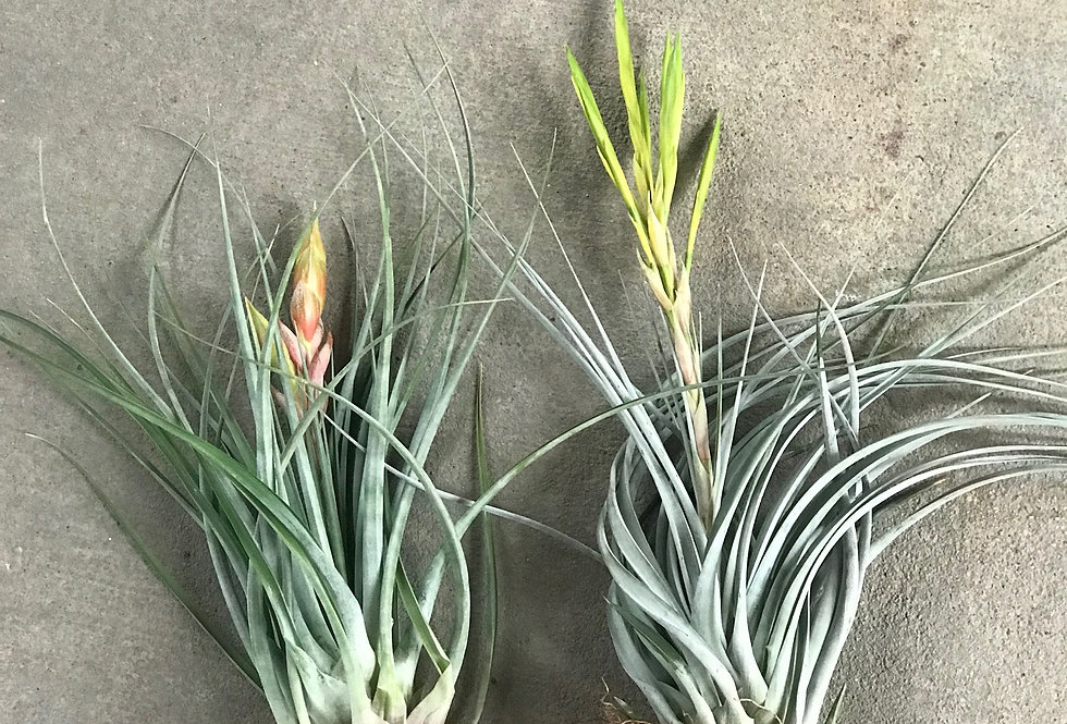 Air Plants - LARGE - Blooming