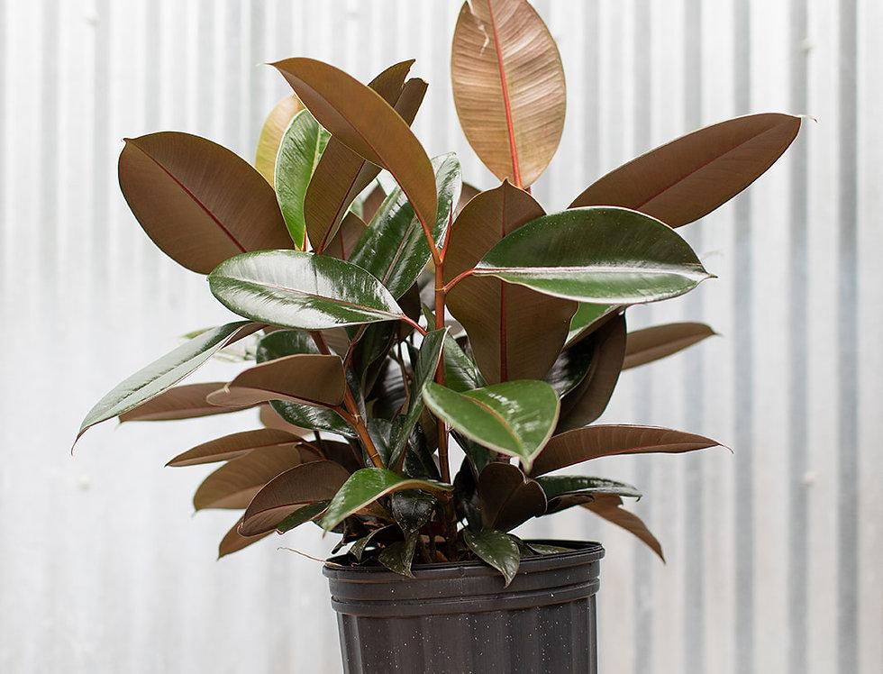 Rubber Plant - Ficus Elastica