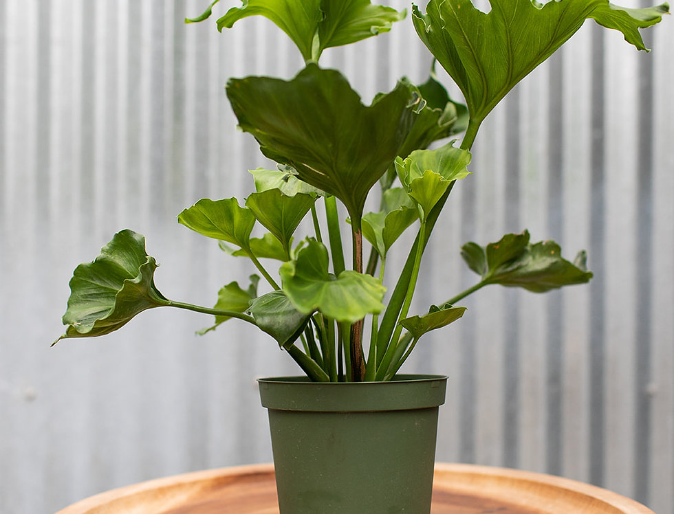 Philodendron - Selloum Hope
