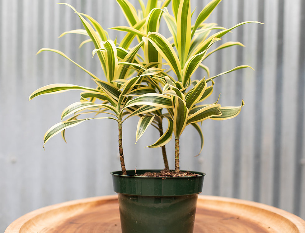 Song of India - Dracaena Reflexa
