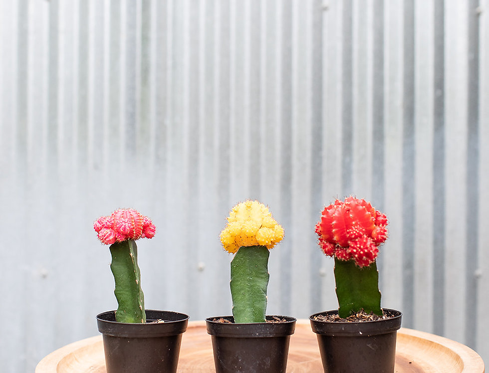 Cactus - Grafted Color Top
