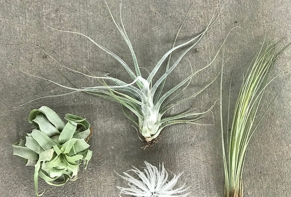 Air Plants - MEDIUM (Assorted)