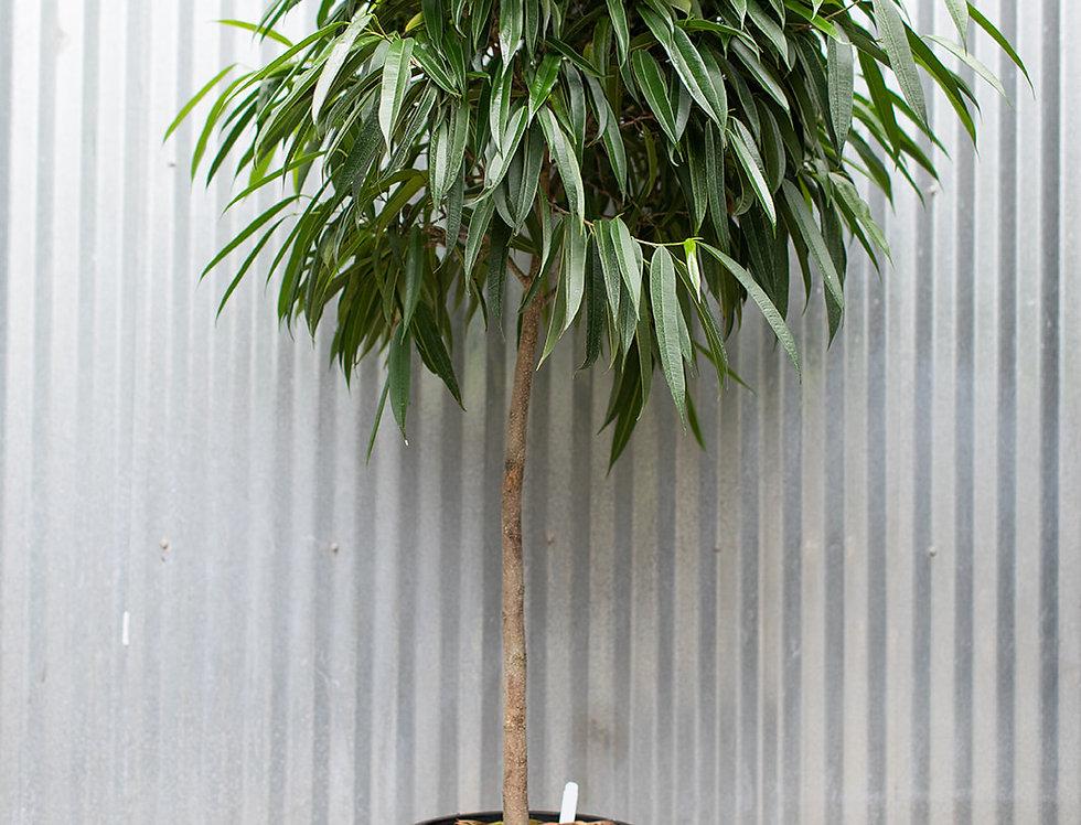 Alii Ficus - Standard