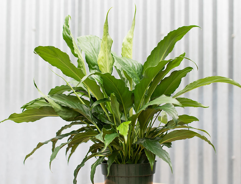 Peace Lily - Sweet Chico