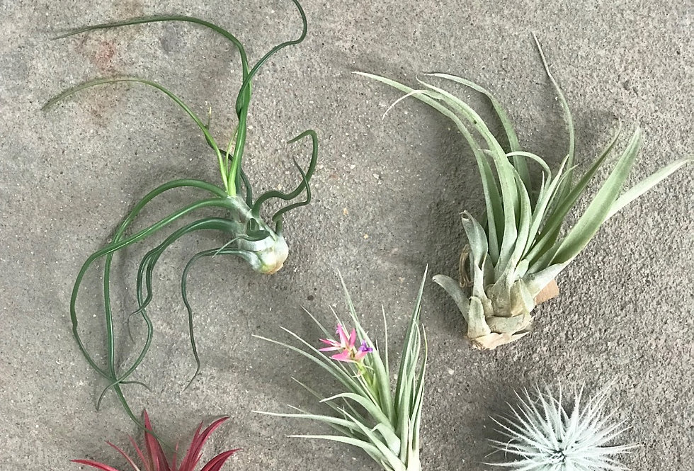 Air Plants - SMALL (Assorted)