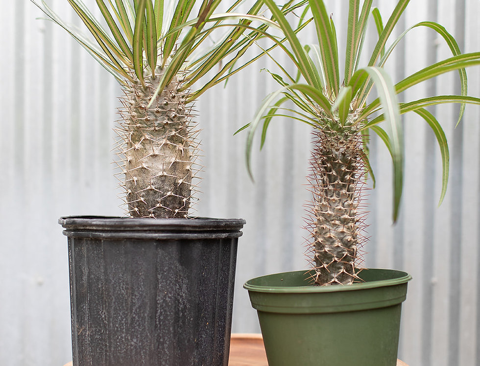 Cactus - Madagascar Palm