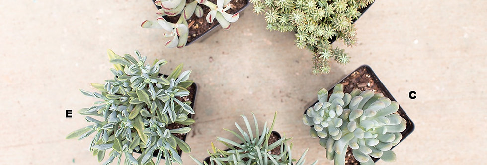 Succulents - Assorted 1/2