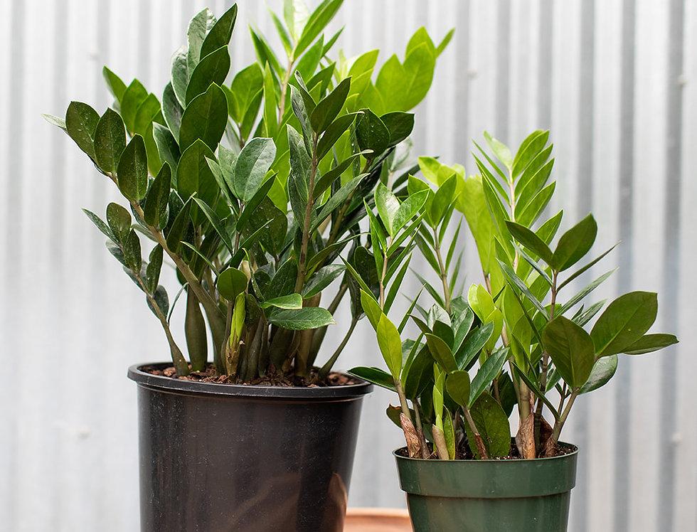 ZZ Plant - Zamioculcas Zamifolia