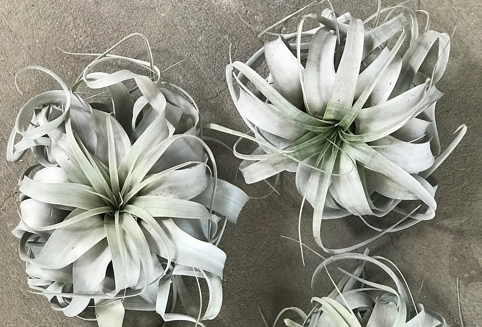 Air Plants - Xerographica