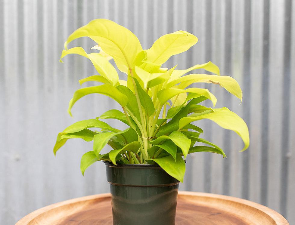 Philodendron - Lemon Lime