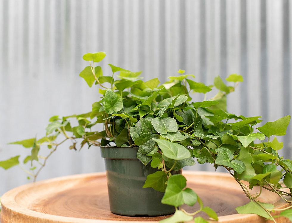 English Ivy - Green