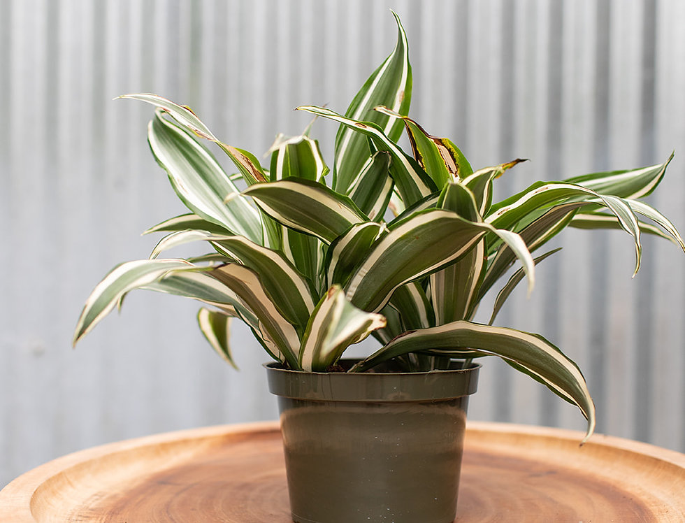 Dracaena - White Bird