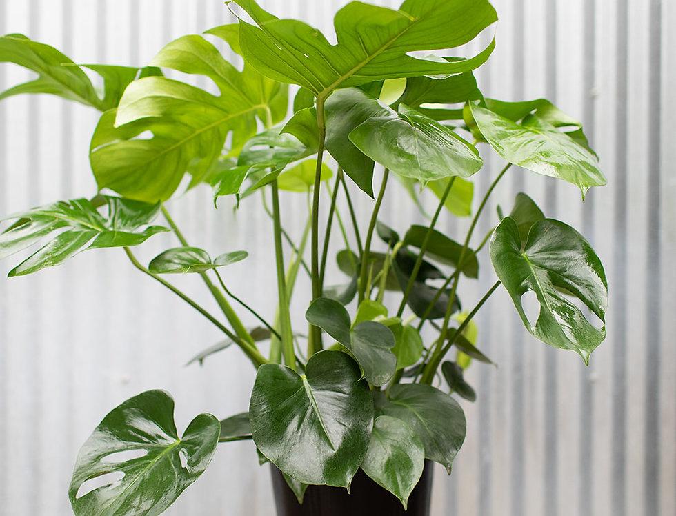 Monstera Deliciosa - Philodendron