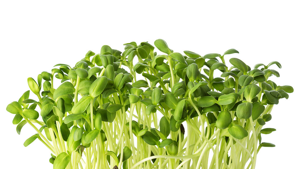 Sunflower (Black Oil) Microgreens