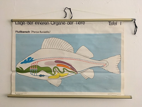 Vintage Schulkarte: Lage der inneren Organe der Tiere - Flußbarsch