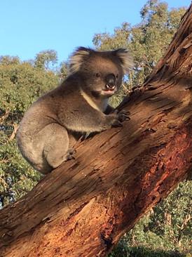 Barefoot koala.jpg
