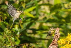 Blue tits flying and feeding