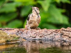 Woodpecker 23-07-2017