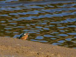 1st Kingfisher 06-08-2017 pagham