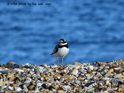 A little plover by the sea....