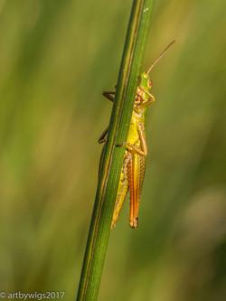 Grasshopper 14-07-2017