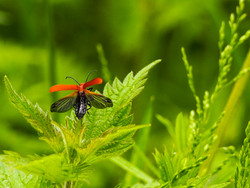 cardinal beetle v2-3