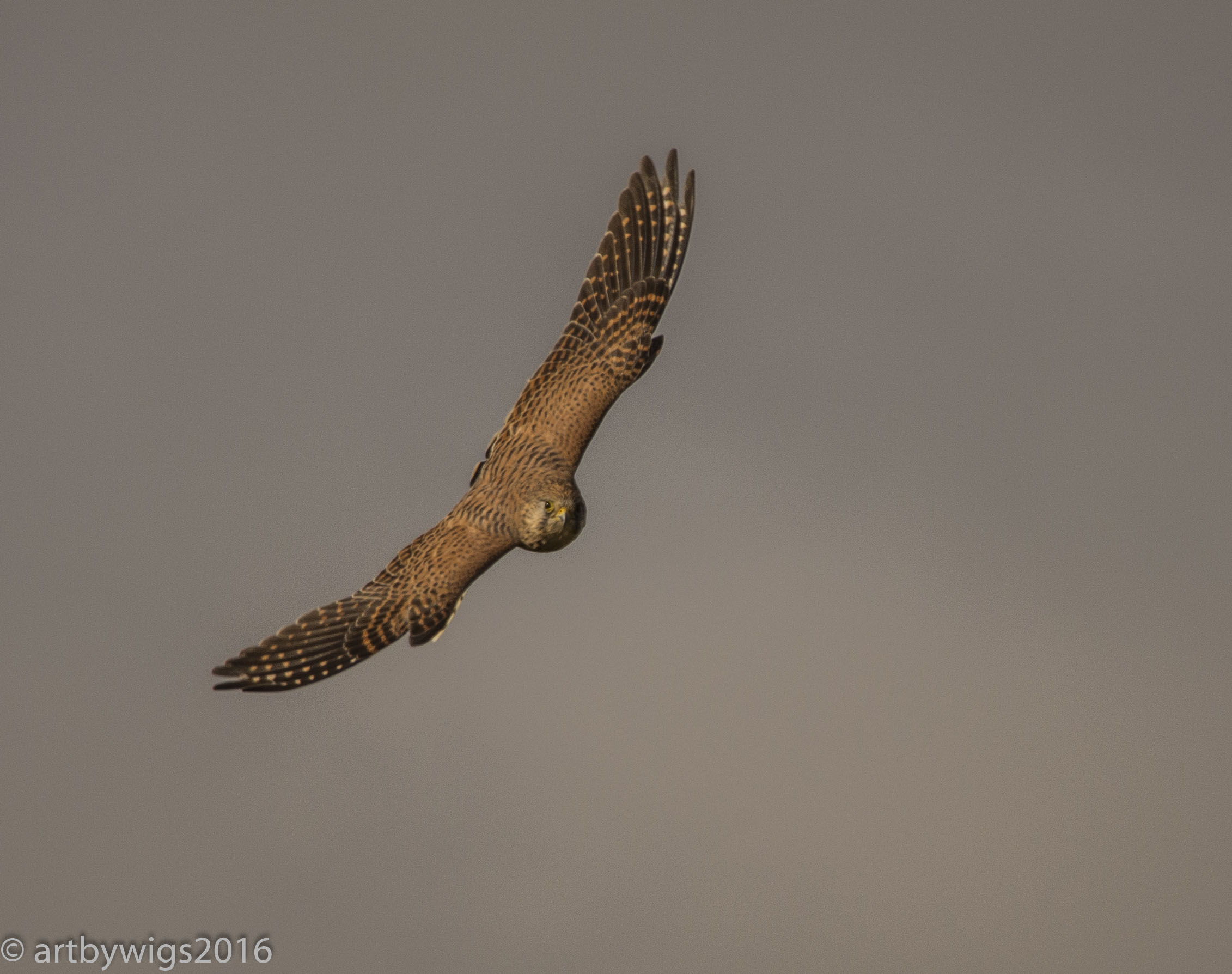 Kestrel petworth