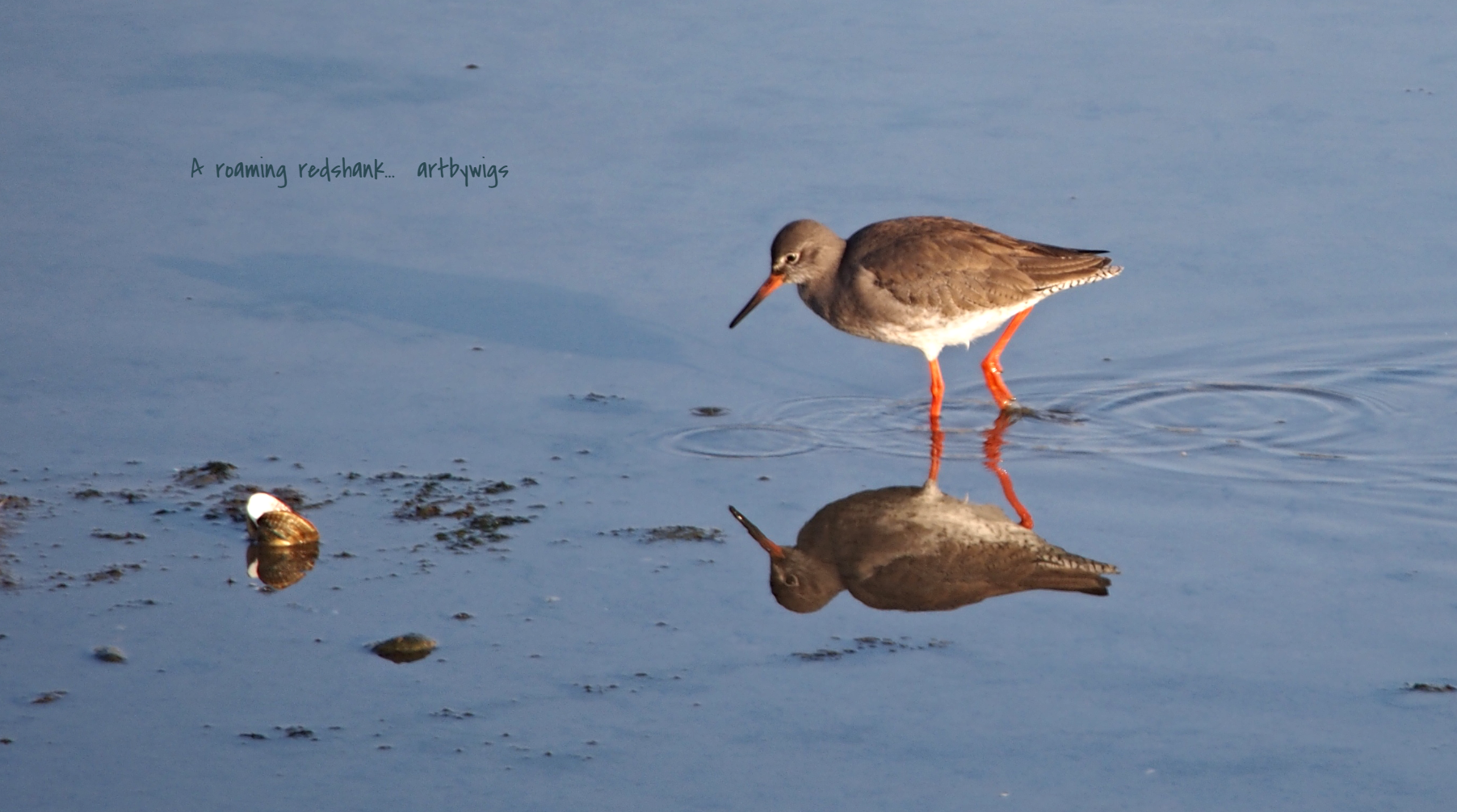 Redshank shoreham
