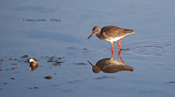 Redshank shoreham