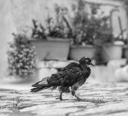 scruffy old bird.jpg.jpg.jpg