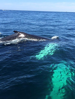 Whales Feeding, Cape Cod